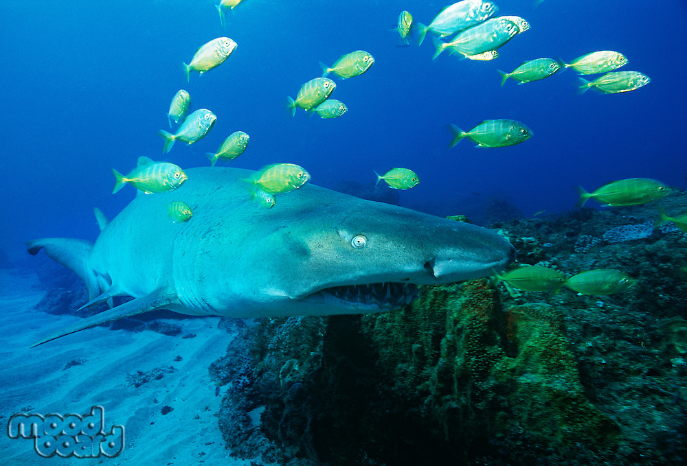 Sodwana Bay Indian Ocean South Africa Sand tiger shark (carcharias taurus) and golden trevally (gnathanodon speciosus)