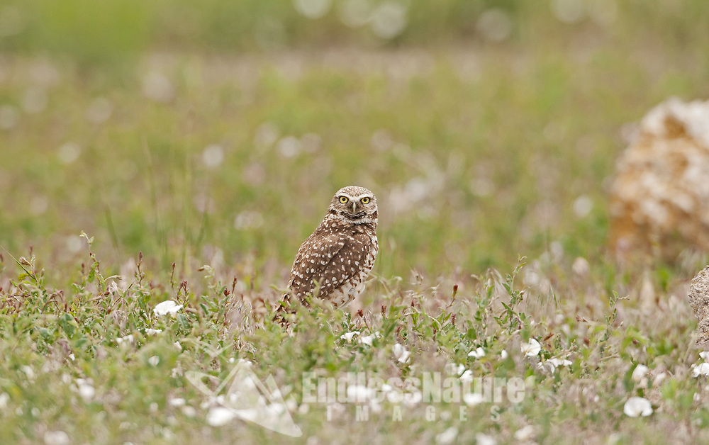A Burrowing Owl chases insects in May while the green field grass is still short.