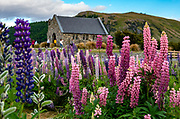 Russell lupin flowers bloom at the Church of the Good Shepherd, which was built in 1935 at Lake Tekapo, in the Canterbury region, South Island, New Zealand. These nonnative Russell lupin flowers were blooming in early January 2019. The plant's widespread diaspora began with David Douglas bringing the herbaceous lupine (Lupinus polyphyllus) from North America to Britain in the 1820s. In the early 1900s, George Russell, a horticulturist from York, UK, spent two decades breeding the Russell hybrids (Lupinus X russellii hort). First naturalized to New Zealand by local farmers wanting to beautify their landscape in the 1950s, Russell lupins have invaded large areas of roadsides, pastures, and riverbeds. This alien plant most threatens indigenous species in the braided river beds of Canterbury region. Russell lupin is classed as an invasive species in New Zealand, Sweden, Norway, Switzerland, Argentina, the Czech Republic, Finland, Lithuania, and Ukraine.