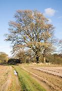 Quercus Robur oak tree autumn standing in field, Shottisham, Suffolk, England