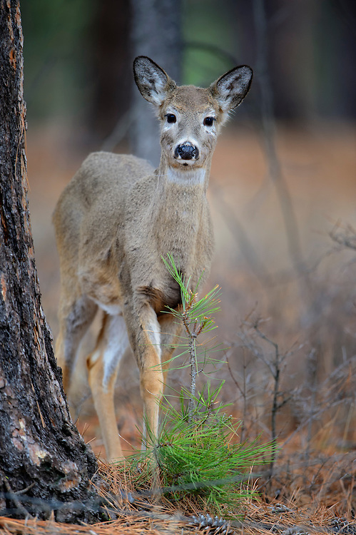 Portrait of a White-tailed Deer Fawn, Missoula, Montana