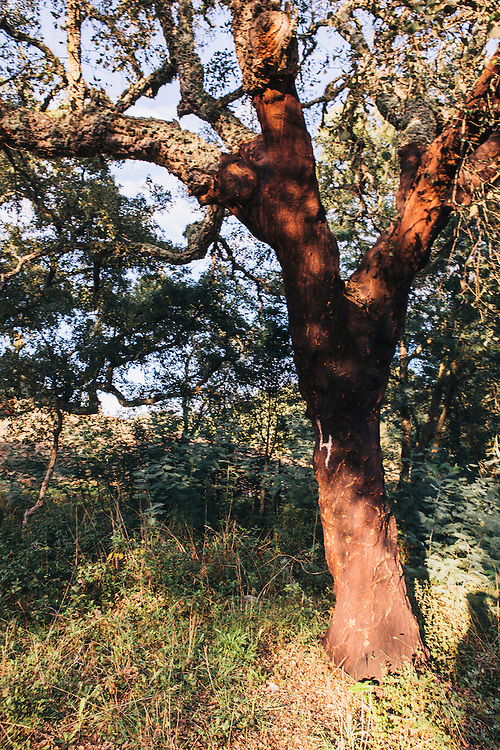 Cork trees, Alentejo