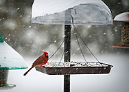 Merrick, New York, USA. January 23, 2016. Travel is for the birds only, when Blizzard Jonas brings dangerous snow and gusting winds to Long Island, and Governor Cuomo bans travel, shutting down L.I.'s roads and railroads, due to hazardous conditions. A red male cardinal eats seeds from a hanging platform bird feeder in a suburban backyard, as the winter Storm of 2016 already dropped over a foot of snow on the south shore town of Merrick, with much more snow expected throughout Saturday and early Sunday.