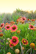 Gaillardia  Flowers at a Kitty Hawk beach, photographed at sunrise. These Gaillardia flowers grow like weeds in the sand on the Outer Banks. They are also known as Indian Blanket Flower, or Firewheel, and are locally known as Jo Bells.