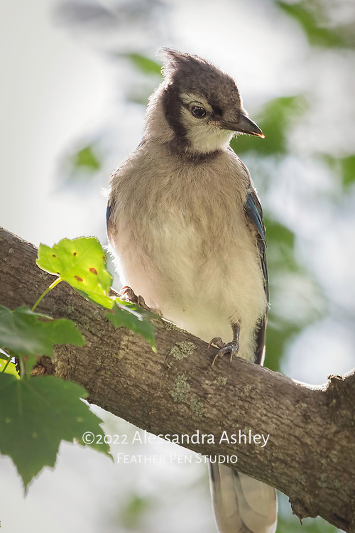 Juvenile blue jay poses for portrait in late afternoon sunlight, in natural backyard setting.