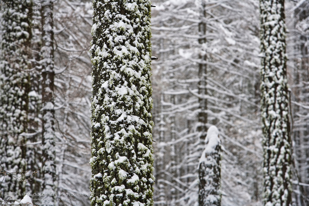 Snow covered tree trunks in Yosemite valley - Yosemite National Park, California
