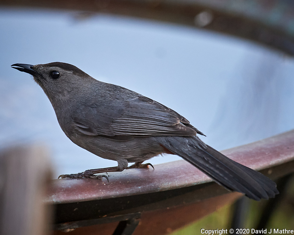 Gray-Catbird. Image taken with a Nikon D5 camera and 600 mm f/4 VR telephoto lens (ISO 1600, 600 mm, f/5.6, 1/800 sec).
