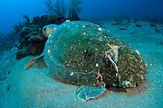 Loggerhead Sea Turtle (Caretta caretta) in Palm Beach County, FL. Notice carapace or shell broken by a boat collision.