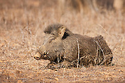 Wild boar, Sus scrofa, in Ranthambhore National Park, Rajasthan, India