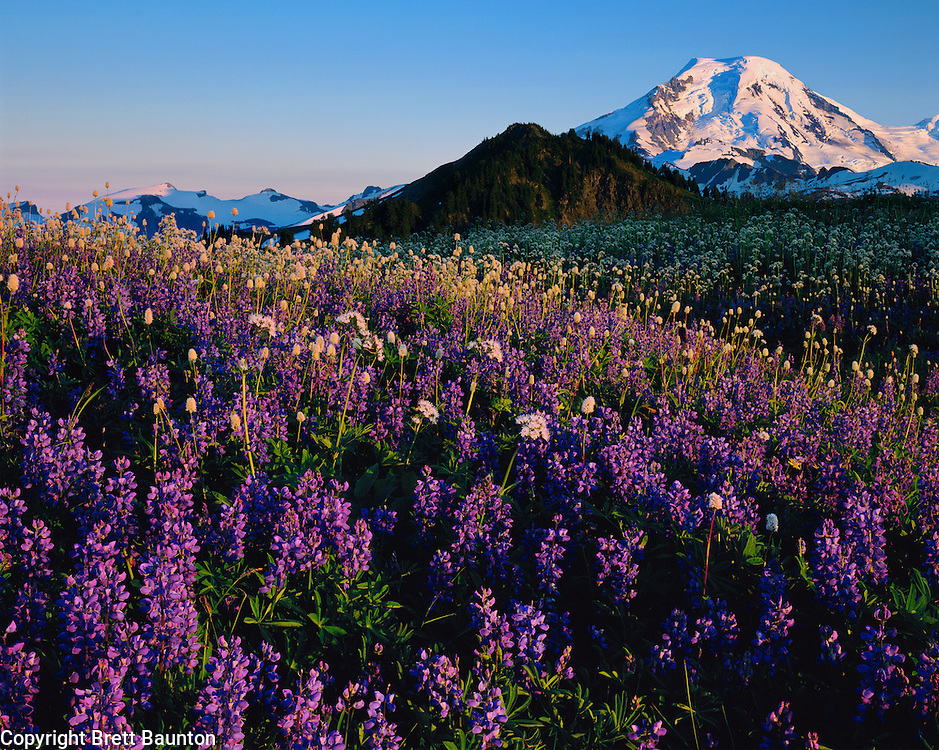 Mt. Baker, WA, USA..Mt. Baker Wilderness Area..10,778 ft / 3285 m..Skyline Divide Wildflowers..Lupine, Mountain Bistort and Valerian..North Face of Mt. Baker..4x5 Transparency.2000 Brett Baunton.