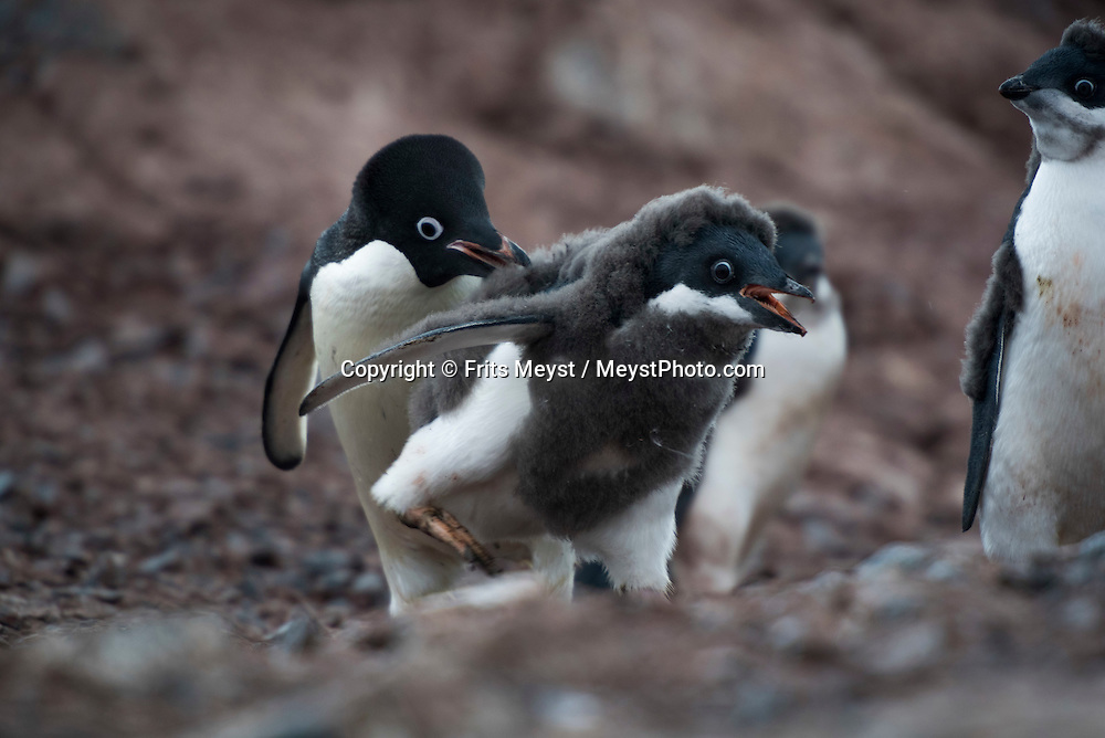 Antarctica, February 2016. Yalour Islands are the home of countless Adelie penguins. Here we are close to the northernmost latitude of the distribution of this species in the Western Antarctic Peninsula. Dutch Tallship, Bark Europa, explores Antarctica during a 25 day sailing expedition. Photo by Frits Meyst / MeystPhoto.com