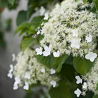 Annual and Perennial Vines: Hydrangea petiolaris, climbing hydrangea...