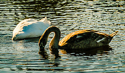 Adult swan and cygnet at dusk<br /> <br /> (c) Andrew Wilson | Edinburgh Elite media
