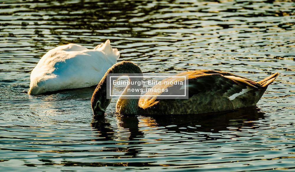 Adult swan and cygnet at dusk<br /> <br /> (c) Andrew Wilson   Edinburgh Elite media