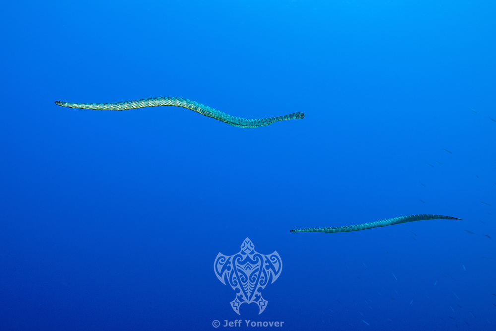 Sea Snakes in the blue<br /> <br /> Shot in Indonesia