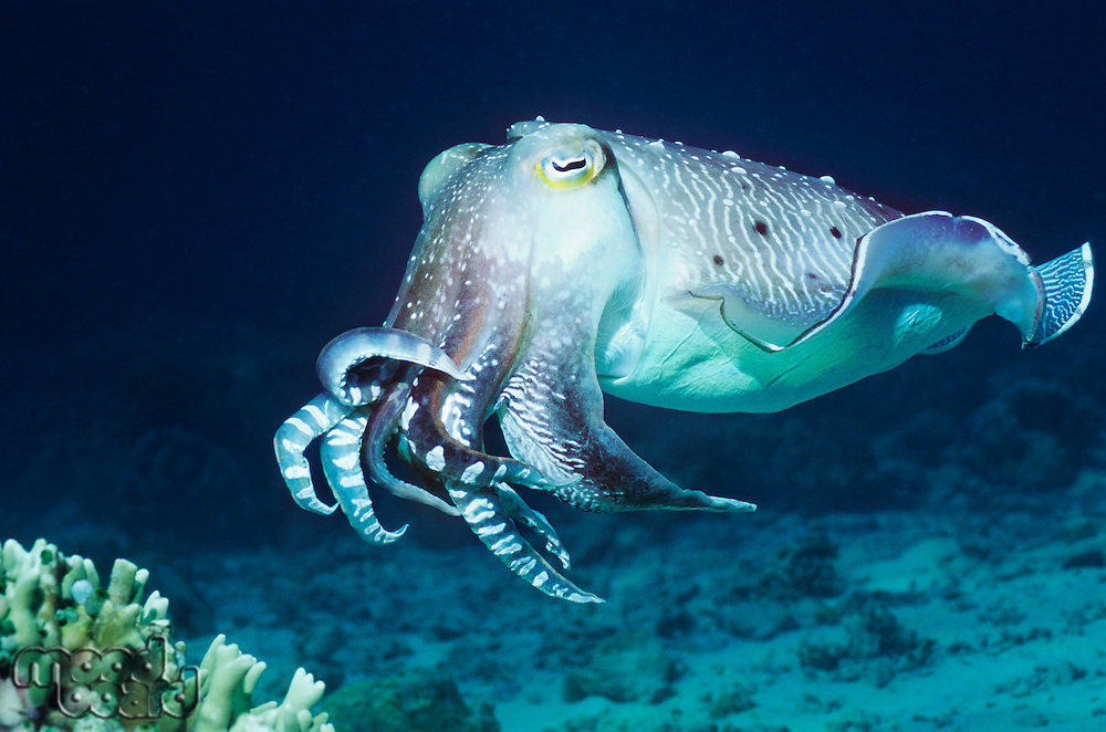 Cuttlefish swimming in ocean