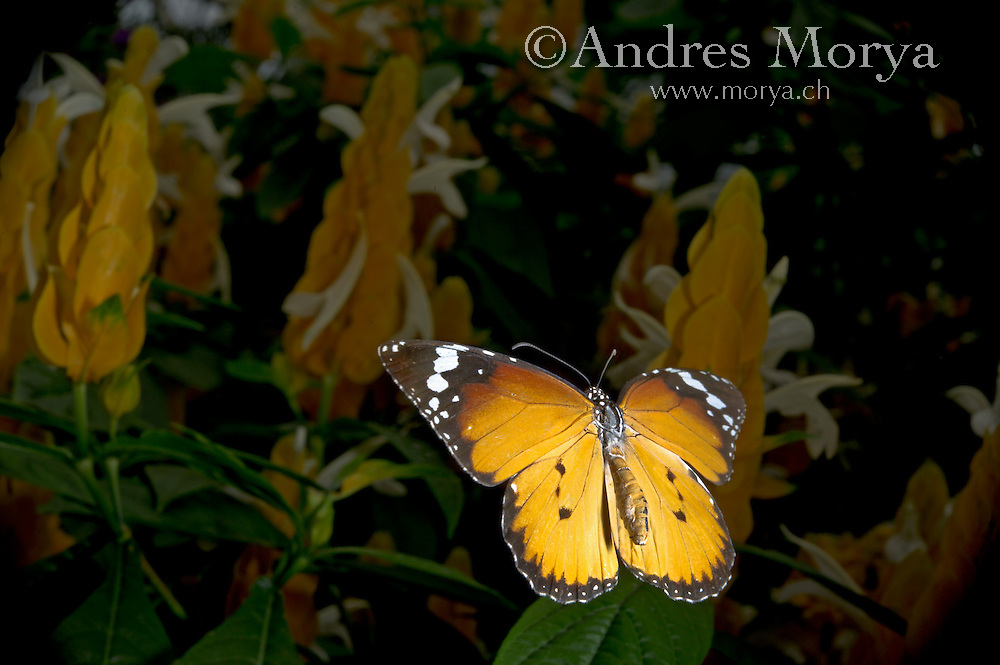 Insect in Flight, High Speed Photographic Technique Danaus chrysippus in Flight, High Speed Photographic Technique African Monarch in Flight, Danaus chrysippus, Madagascar Image by Andres Morya
