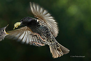 Even though, starlings use to feed their chicks predominantly with insects, small portion of the diet is fruit.