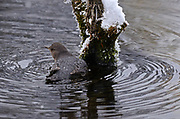 American dipper in a pond along the Yaak River in early winter. Yaak Valley in the Purcell Mountais, northwest Montana.
