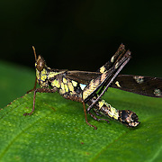 An Erianthus versicolor, Eumastacidae Grasshopper sitting on a leaf in a clearing at Khao Yai National Park, Thailand.