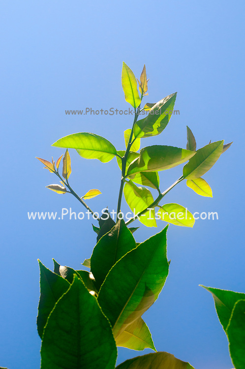 Green Lemon tree leaves on a blue sky background