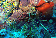 """spider crab in the """"throne cave"""""""