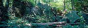A panoramic image of a dense forest with ivy covered tree trunks and rock outcrops