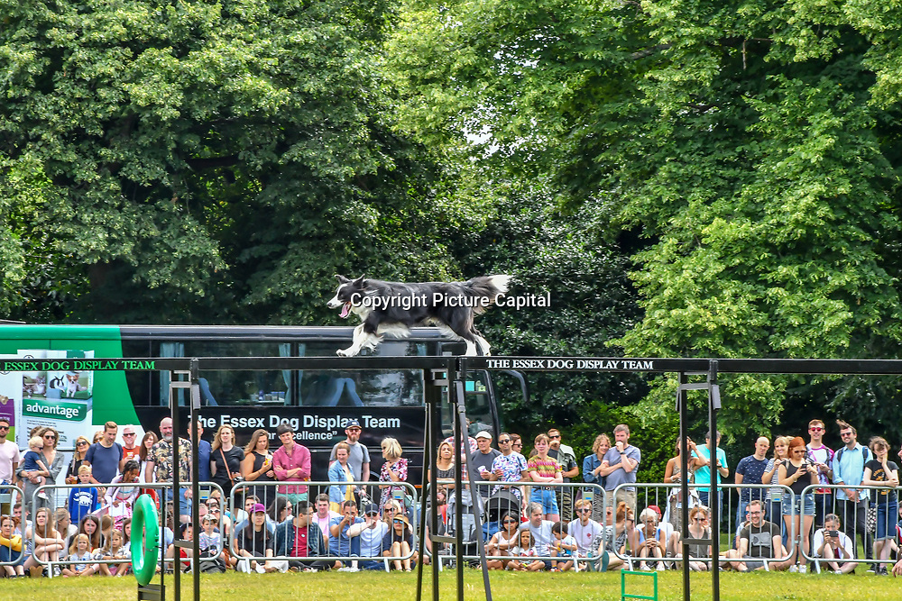 London, UK. 21th July, 2019. Essex Dog Display Team performs at the Lambeth Country Show 2019 a peaceful family festival with live music food & drinks, Arts and Culture and animal show at Brockwell Park, London.