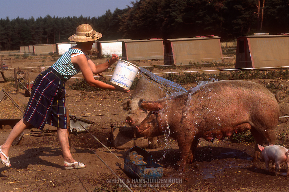 DEU, Deutschland: Hausschwein (Sus Scrofa f. domestica), Frau Ressmann, Ehefrau von Bauer Erich Ressmann, grießt einen Eimer Wasser über eine Sau an einem heißen Sommertag, um sie abzukühlen, Seedorf, Schleswig-Holstein | DEU, Germany: Domestic pig (Sus scrofa f. domestica), Mrs. Ressman, wife of farmer Erich Ressmann, pouring a bucket full of water on a sow, on a hot summer day, for cooling down, Seedorf, Schleswig-Holstein |