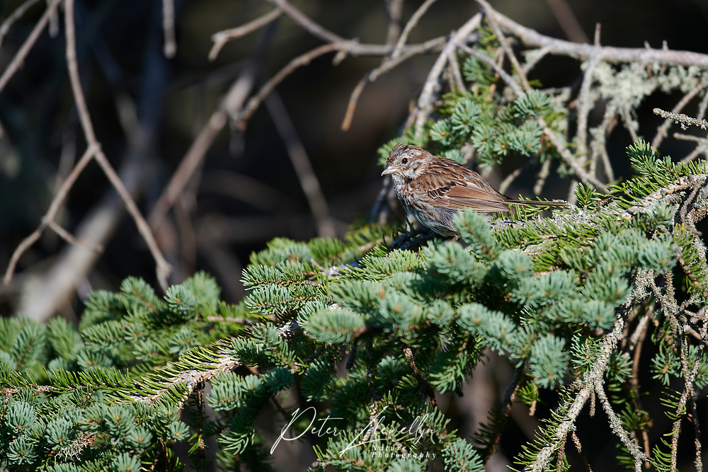 Song Sparrow (Melospiza melodia) perched in a tree, Crescent Beach, Nova Scotia, Canada