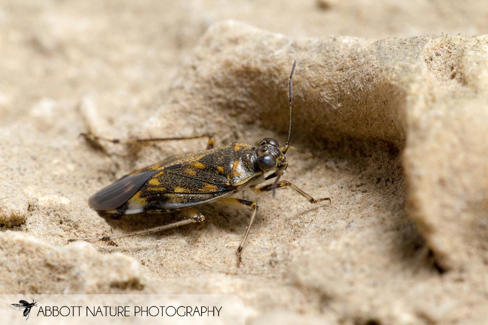 Shore Bug (Pentacora sp.)<br /> KENTUCKY: Jessamine Co.<br /> Hickman Creek off Hwy 160; Nicholasville<br /> 23-Jun-2015<br /> J.C. Abbott #2751 &amp; K.K. Abbott