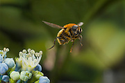 A Narcissus bulb fly (Merodon equestris) flying near a hydrangea flower in western Oregon. © Michael Durham / www.DurmPhoto.com