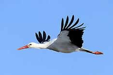20120204 Stork i Veksø