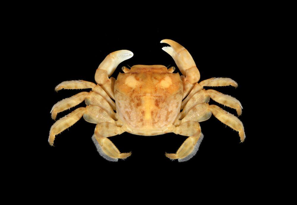 Columbus Crab - Planes minutus