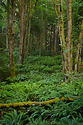 hillside of Sword Ferns (Polystichum munitum) and Bigleaf Maple (Acer macrophyllum) in the Anderson Landing Preserve on the Kitsap Peninsula of Washington, USA