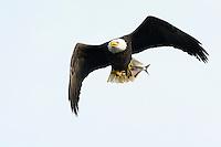 American bald eagle, Haliaeetus, leucocephalus, fishing at the Conowingo Dam, Susquehanna River in Maryland.