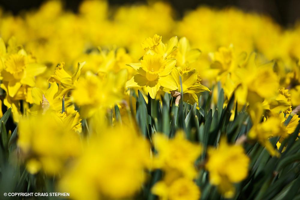 Yellow spring daffodils in full bloom.