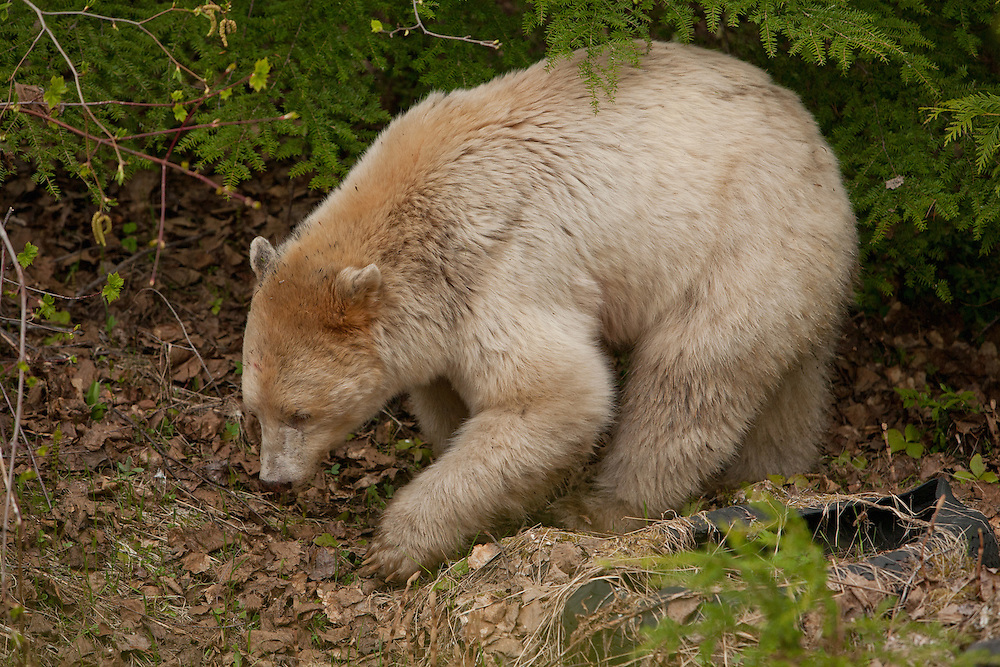 Kermode bear foraging