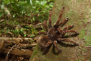 Goliath Bird-eating Tarantula (Theraphosa blondi) LARGEST SPIDER IN THE WORLD<br />