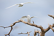 White Tern perching on branch, Midway Atoll