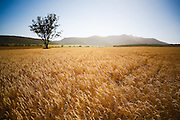 Wheat Field, near Narrabri, NSW, Australia