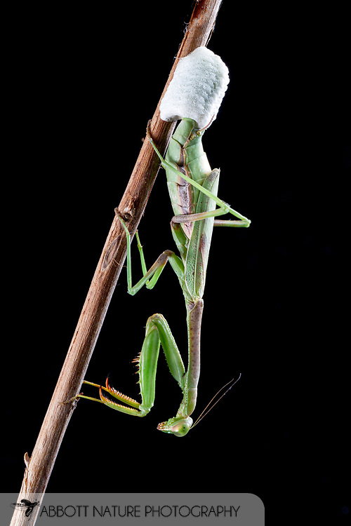 Carolina Mantid (Stagmomantis carolina) - female producing an ootheca<br /> TEXAS: Williamson Co.<br /> Brushy Creek @ 183<br /> 24-Oct-2014<br /> J.C. Abbott &amp; K.K. Abbott