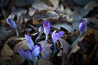 Late Winter Purple Crocuses. Image taken with a Nikon D3s and 85 mm f/1.4G lens (ISO 200, f/2.8, 1/200 sec.)