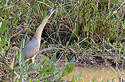Whistling heron (Syrigma sibilatrix) whistles in the marshes of Pantanal, Brazil.