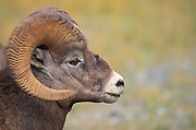 Close-up of a bighorn ram (Ovis canadensis), Jasper National Park, Alberta, Canada
