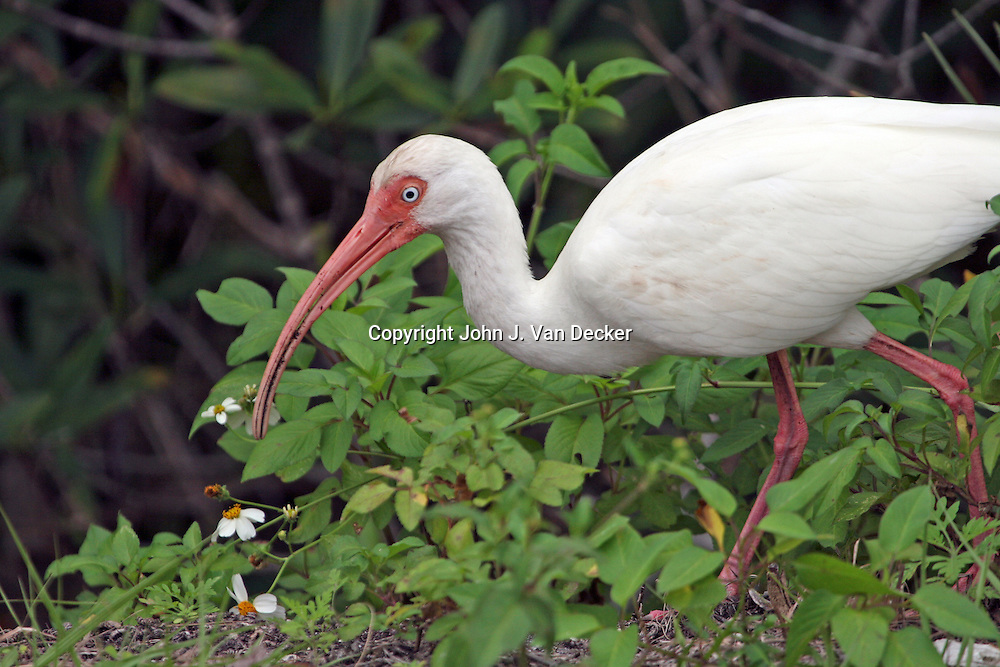 White Ibis looking for food in the woods of Southwest Florida