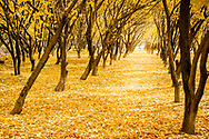 An apricot orchard in western Tajikistan dressed yellow autumn (fall) livery