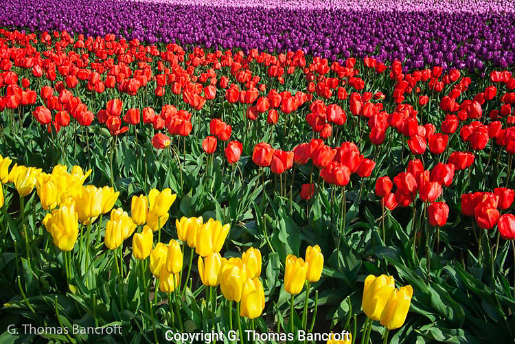 Tulip colors varied across rows.  I was fascinated by the colors and how they formed a linear design.