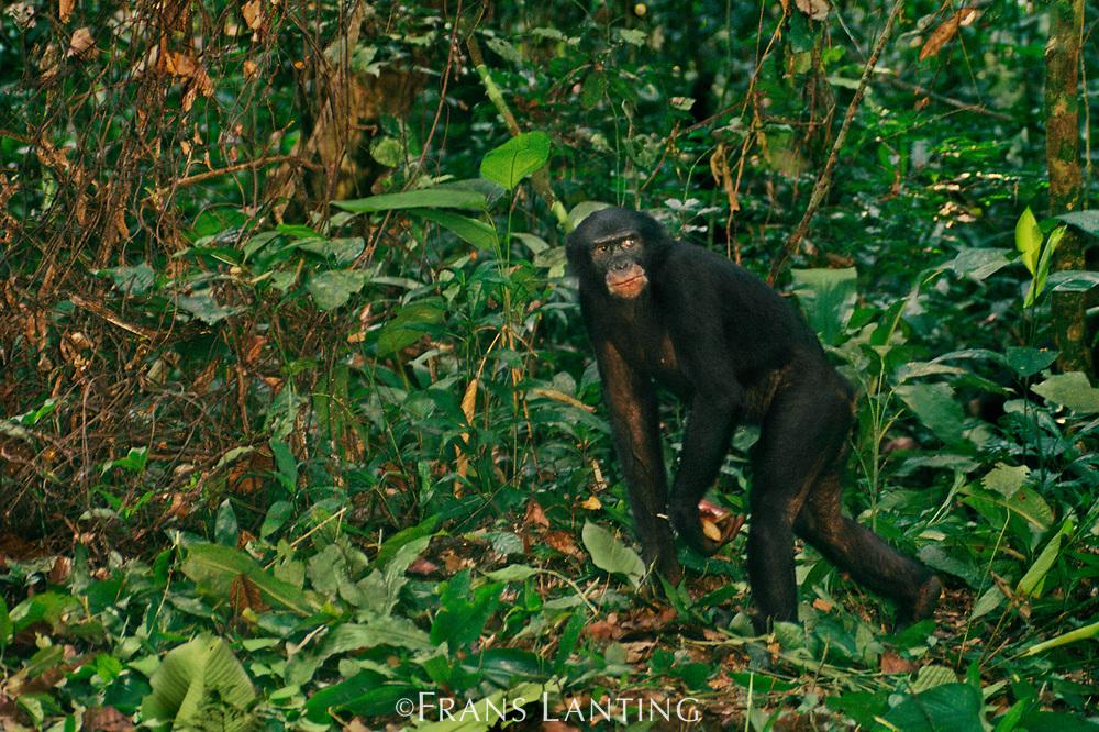 Forty-year-old male bonobo Hachi, Pan paniscus, Wamba, Democratic Republic of Congo