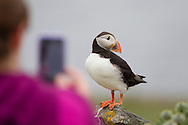 Tourist photographing puffins, Shetland Isles, Scotland.